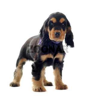 puppy english cocker