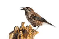 Wild spotted nutcracker sitting on stump illuminated by sun cut out on blank.