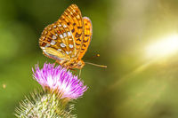 Closeup macro shot of a beautiful colourful Dark Green Fritillary butterfly on a thistle flower with scenic sun rays
