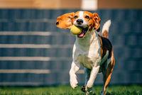 Beagle dog fun in backyard, outdoors run with ball