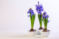 Blue hyacinths in white ceramic bowls.