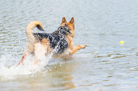Young happy German Shepherd, jumps into the water with big splash. The dog splashes and happily jumps into the lake. Yellow tennis ball in its mouth