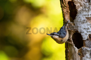 Eurasian nuthatch climbing on tree with copy space