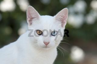 Hauskatze, Portaet, Kykladen, cat, odd-eyed white, portrait, Cyclades