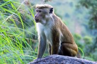 Pale-fronted toque macaque