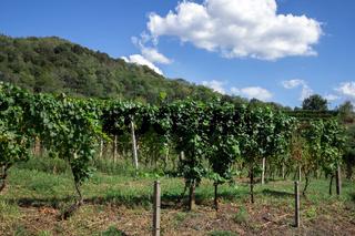 Landscape of green vineyards