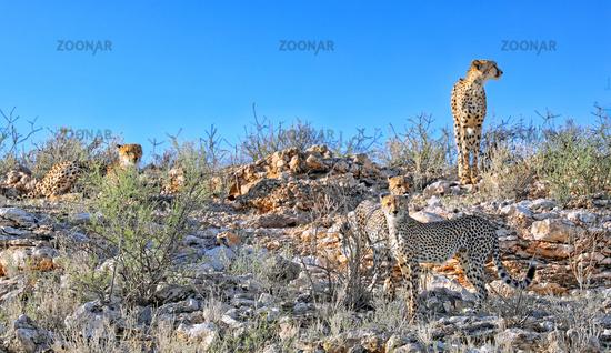 Geparde, Kgalagadi-Transfrontier-Nationalpark, Südafrika, (Acinonyx jubatus) | Cheetahs, Kgalagadi Transfrontier National Park, South Africa, (Acinonyx jubatus)