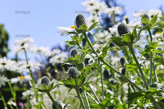 Thistles and daisies in garden