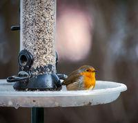 European robin sitting on a bird feeder