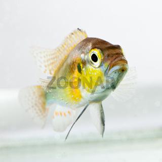 Cichlid fish (Geophagus surinamensis)