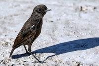 Ameisenschmätzer, Etosha NP, Namibia | anteating chat, Etosha NP, Namibia