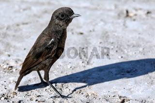 Ameisenschmätzer, Etosha NP, Namibia   anteating chat, Etosha NP, Namibia