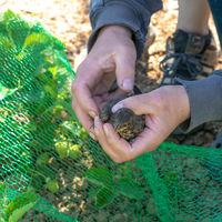 Junge Amsel hat sich in einem grünen Netz auf einem Erdbeerfeld verfangen und wird in der Hand gehal