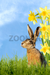 Easter bunny sitting in meadow with daffodils
