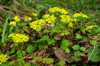 Wechselblättriges Milzkraut, Chrysosplenium alternifolium, alternate-leaved golden saxifrage,
