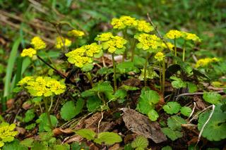 Wechselblättriges Milzkraut, Chrysosplenium alternifolium, alternate-leaved golden saxifrage,