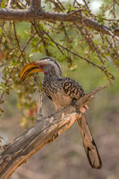 southern yellow-billed hornbill, Tockus leucomelas, on a branch, Namibia