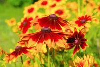 Sonnenhut, gelbe Blüten im Sommergarten - black-eyed Susan flower in summer garden