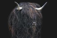 schottische Hochlandrinder 7