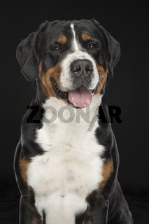 Portrait of a Greater Swiss Mountain dog on a black background