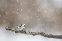 Blaumeise bei Schneetreiben