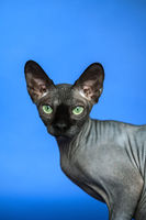 Canadian Sphynx cat on blue background