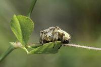 Vierfleckkreuzspinne (Araneus quadratus)