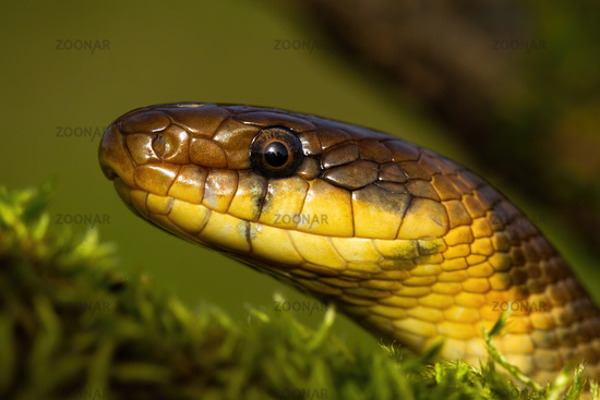 Portrait of aesculapian snake looking in summer nature