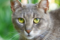 Close up portrait of grey cat with green eyes on green grass background. non-pedigree cats