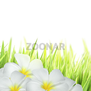 Frangipani flowers and green grass, isolated on white background