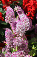 Vertical photo of pink Joey Plant flower stems