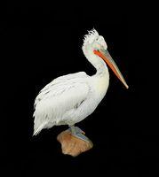 Pelikan isoliert schwarz