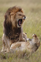 Lion, Loewe, Paarung, Copula, Kopula,