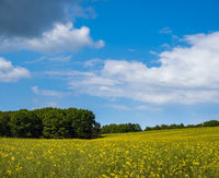 Spring rapeseed yellow blooming fields view, blue sky with clouds in sunlight. Natural seasonal, good weather, climate, eco, farming, countryside beauty concept.