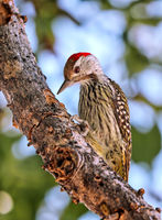 Goldschwanzspecht, Etosha NP, Namibia | golden tailed woodpecker, Etosha NP, Namibia