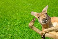 Funny human looking kangaroo on a lawn