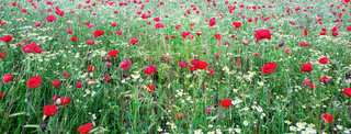 Red poppies on green field background.