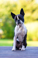 Boston terrier dog on brown terrace looking at camera