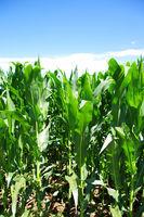 Green corn field at Portugal
