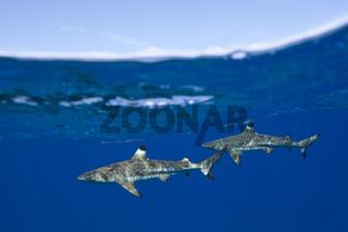 Schwarzspitzen-Riffhai, Franzoesisch Polynesien