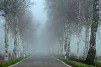 Pfrunger Ried; Oberschwaben, Birkenallee im Nebel