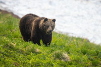 Brown bear walking on hill with snow in background in spring