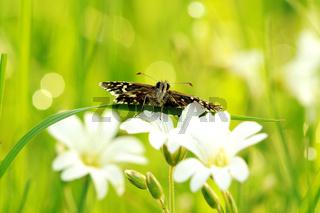 Kleiner Würfel-Dickkopffalter auf weißen Blumen 8
