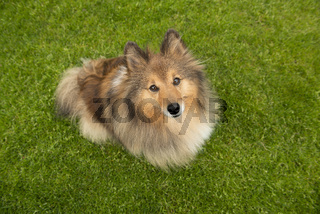 Cute shetland sheepdog looking up seen from a high angle view sitting outdoors on a grass field