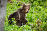 Brown bear cub resting in green forest in summer nature