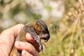 Indian palm squirrel (Funambulus palmarium) pup