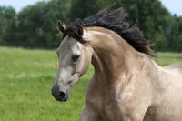 Pferd, Quarterhorse-Mix