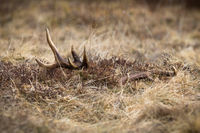 Red deer shed peeking from a dry yellow grass on a spring meadow.