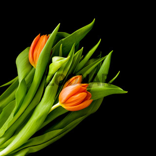 Beautiful red tulips isolated on a black background