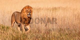 Löwe, Etosha-Nationalpark, Namibia, (Panthera leo) | lion, Etosha National Park, Namibia, (Panthera leo)